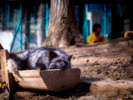 The Japanese Black Fox Sleeping on The Half Log at The Zoo in Japan