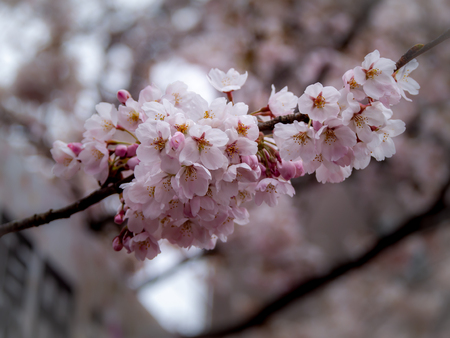 The Bouquet of Sakura Flowers Blooming on The Field without Leaves Imagens