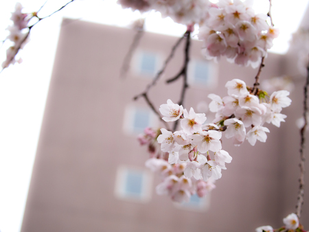 The Bouquet of Sakura Flowers Blooming on The Field without Leaves behind The Building