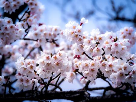 The Bouquet of Sakura Flowers Hanging in The Tree Imagens