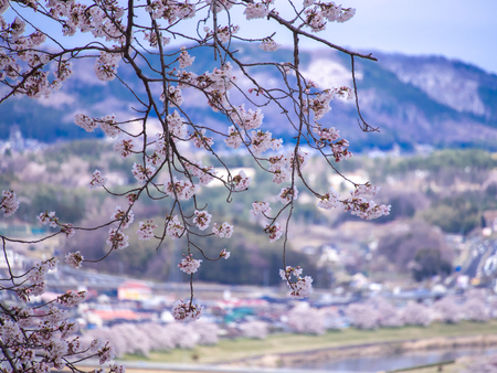 The Bouquet of Sakura Flowers Hanging on The Field without Leaves behind The Town in The Mountain