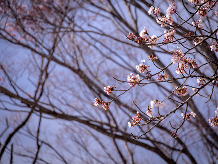 The Bouquet of Sakura Flowers Hanging in The Tree behind The Pattern of The Branches