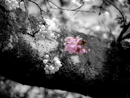 The Bouquet of Sakura Flowers Hanging in The Tree , Black and White Background