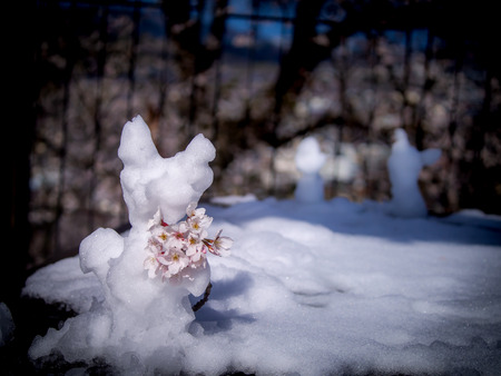 The Freeform Snowman Standing with Sakura Flowers in The Snow