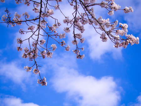 The Bouquet of Sakura Flowers Hanging in The Tree behind The Blue Sky