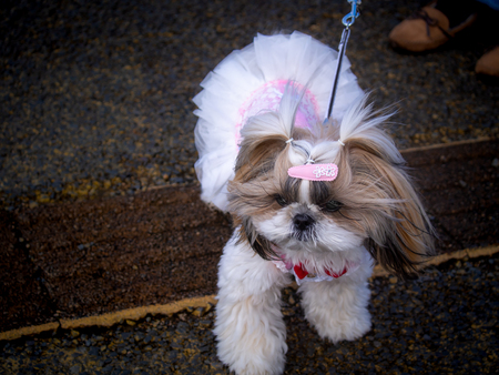 The Female Shin-tzu Wore The White Pink Dress on The Street behind The Owner