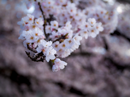The Bouquet of Sakura Flowers Hanging in The Tree behind The Field Imagens