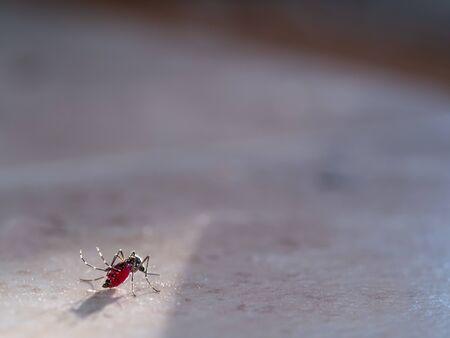 El mosquito lleno de sangre no podía volar parado en el suelo