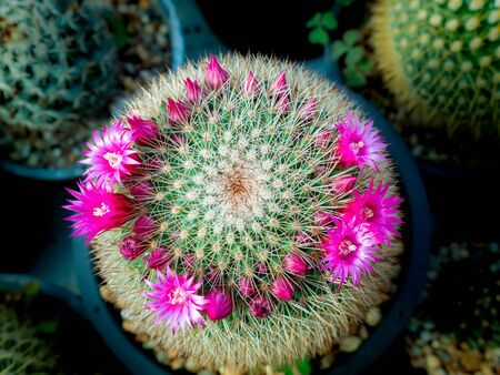 The Pink Cactus Flowers Blooming around The Tree in The Farm ,Top View Banque d'images - 128367505