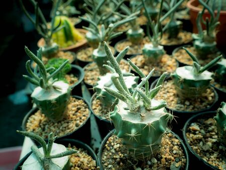 The Shape Cactus Free Form Arranging in Rows in The Farm Stock Photo