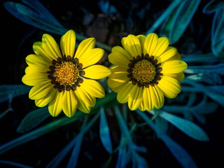The Twins Yellow Gazania flower Blooming in The Gray Leaves Background