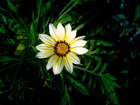 The Single White Yellow Gazania flower Blooming in The Gray Leaves Background