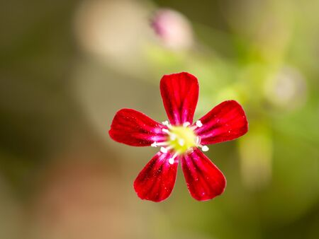 The Red Gypsophila Flower Blooming in The Garden behind The Blur Background