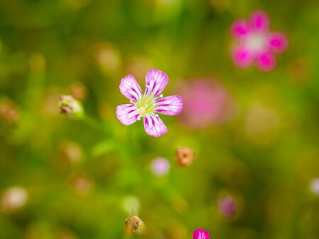 The White Striped Pink Gypsophila Flowers Blooming in The Garden behind The Blur Background Stock Photo