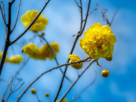 The Yellow Silk Cotton Falling All Leaves of The Tree