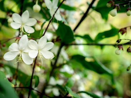 The White Nodding-Clerodendron Flowers Hanging on The Tree ,