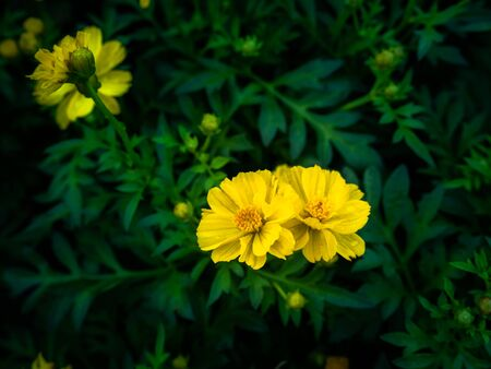 The Yellow Cosmos Flowers Blooming in The Cosmos Garden after Rain