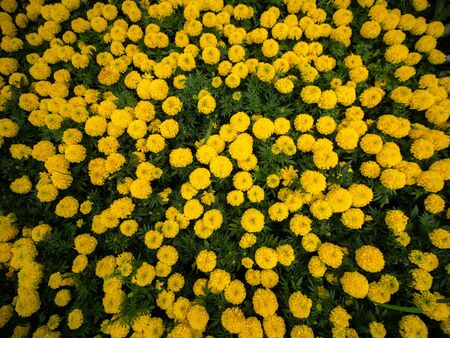 The Yellow Marigold Flowers full Blooming in The Field , Bird Eye View
