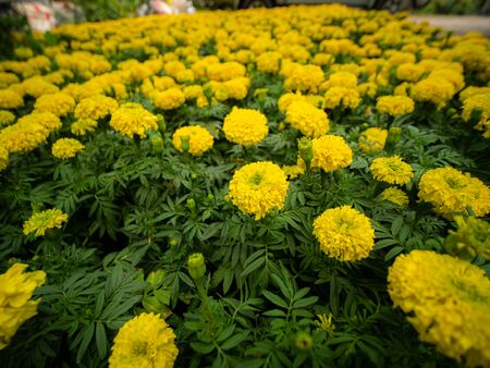 The Yellow Marigold Flowers full Blooming in The Field ,Side View
