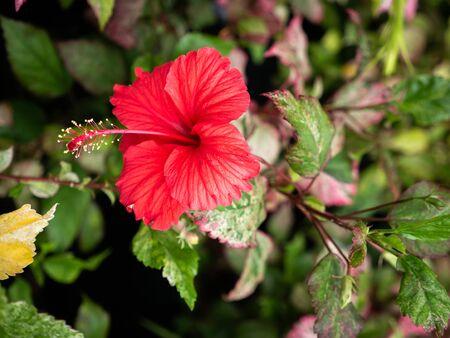 Il fiore di ibisco rosso che sboccia nel campo