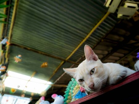 The Yellow Kitten Lying on The Table  in Dolls Shop , Ant Eye View Banco de Imagens