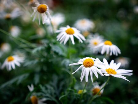 The White Oxeye Daisy Flowers are Beginning to Wither in The Garden