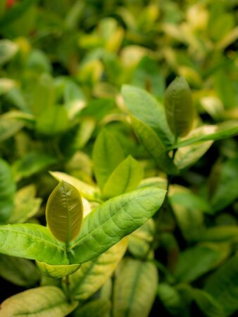 The New Leaves of Ixora Growing on The Farm Stock Photo
