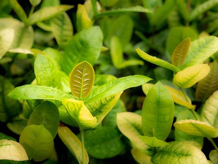 The New Leaves of Ixora Growing on The Farm after Rain Stock Photo