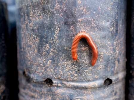 The Millipede Walking on The Black Plastic Bag in The Garden Foto de archivo