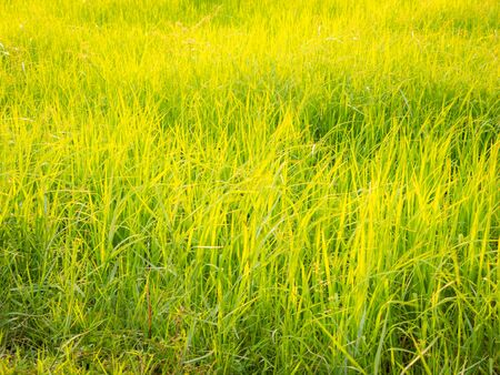 The Golden Paddy Field Growing in The Countryside