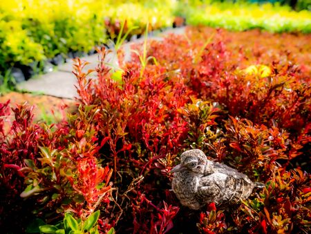 The Little Pigeon Falls on The Red Bush in The Garden Foto de archivo
