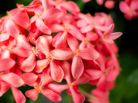 The Bouquet of Pink West indian Jasmine Flowers Blooming in The Garden