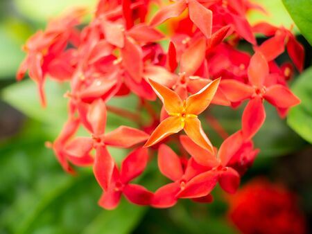 The Bouquet of Red West indian Jasmine Flowers Blooming in The Garden