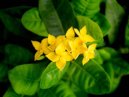The Bouquet of Yellow West indian Jasmine Flowers Blooming in The Garden