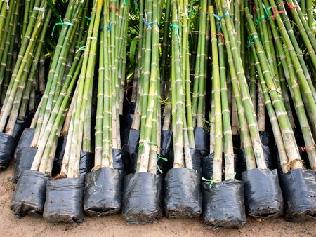 The Bamboo Clumps in Plastic Bags to Preparing for Sale in The Plant Shop