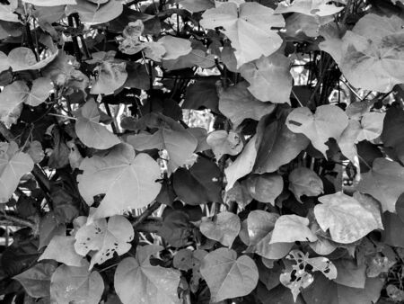The Bodhi Tree Growing in The Garden , Texture in Black and White Stok Fotoğraf