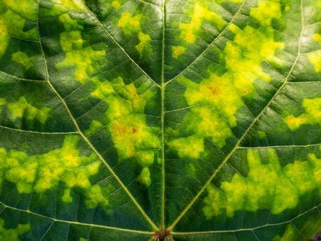 The Leaf of Bodhi Colored Like Camouflage in The Garden