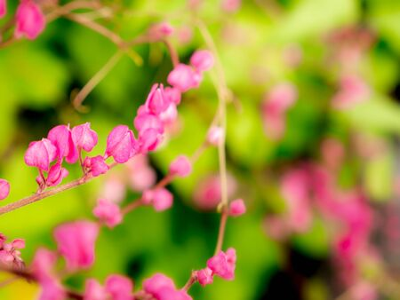 The Bouquet of Pink Mexican Creeper Flowers Blooming in The Garden Foto de archivo
