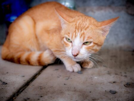 The Yellow Stray Cat Lost his Way to The Local Cat Threatened Foto de archivo