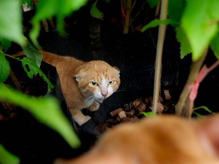 The Local Yellow Cat  Defenders Frighten The Visitor Cat in The Garden