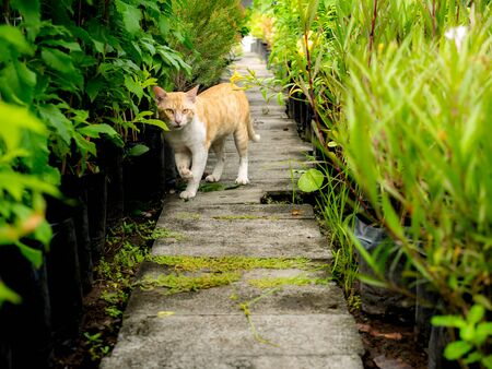 The Yellow Cat Standing , Raised The Right Leg on The Pathway in The Garden