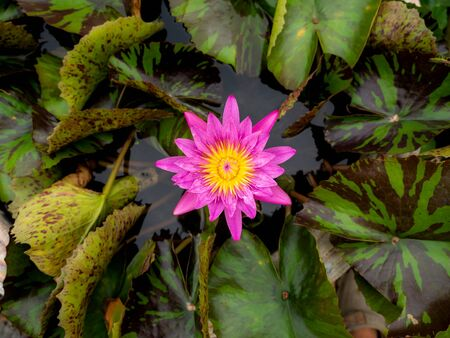 The Pink Lotus and Yellow Stamens Blooming in The Pond