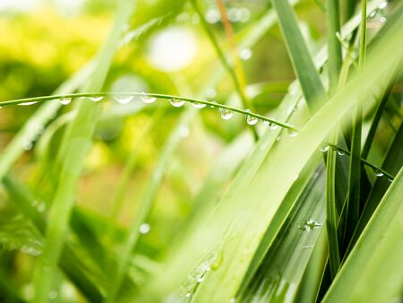 The Rain Drops Perched on The Ponytail Palm Leaves after Rain