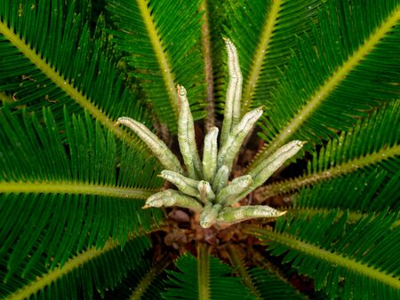 The New Leaves of Sago Palm Growing in The Tree
