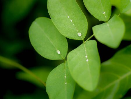 The Rain Drops Perched on The Blue Pea Leaves after Rain Foto de archivo