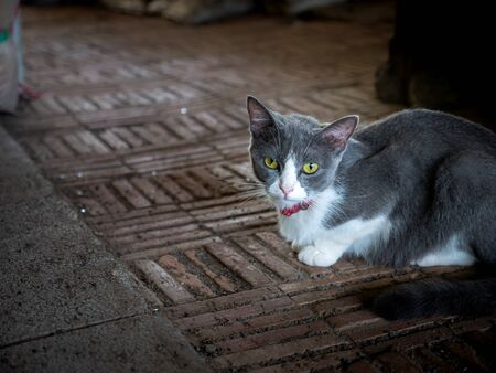 The Gray White Cat Crouching on The Floor Foto de archivo