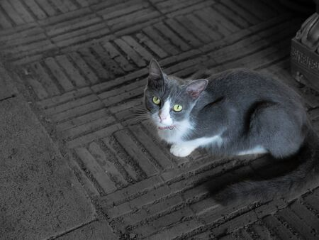The Gray White Cat Crouching on The Gray Floor