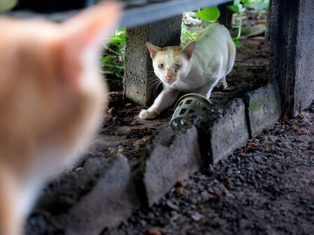 The Stray White Cat got Lost and Found The Local Yellow Cat in Foreground Foto de archivo
