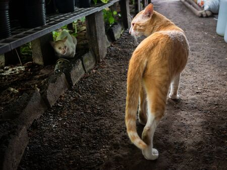 The Local Yellow Cat in Foreground Looking and Walking at The Stray White Cat got Lost Foto de archivo