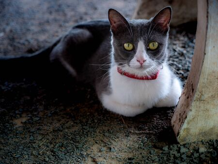 The Gray White Cat Sat on Its Legs under Table, Facing The Top Left Foto de archivo